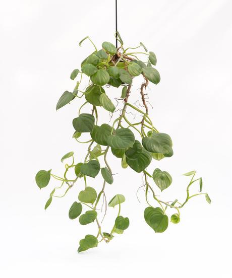 Philodendron pittieri + SP Pot