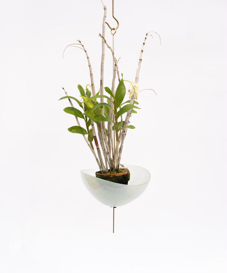 Dendrobium amethystoglossum + Lotus