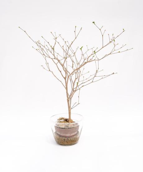 Euphorbia mahabobokensis + SP Pot
