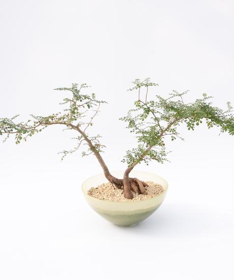 Operculicarya decaryi + SP Pot