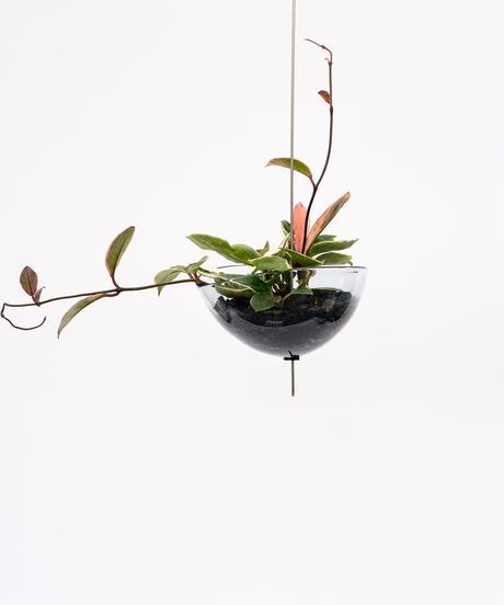 Hoya carnosa + Shell Pot (Recycled Glass)