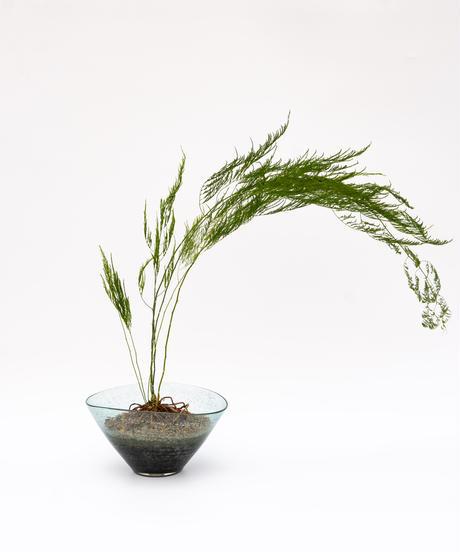 Asparagus setaceus 'Pyramidalis' + SP Pot