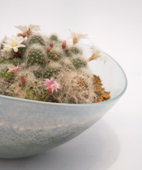 Rebutia albiflora / Mammillaria wildii / Mammillaria bocasana + Lotus