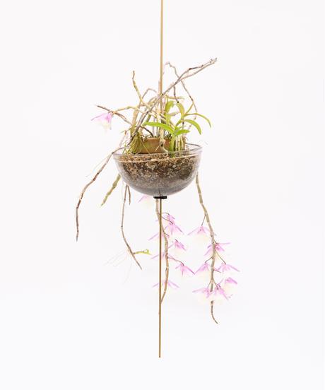 Dendrobium aphyllum / Dendrobium polyanthum + SP Pot