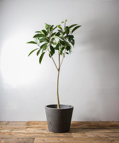 Ficus Bever フィカス・ビーバー #02