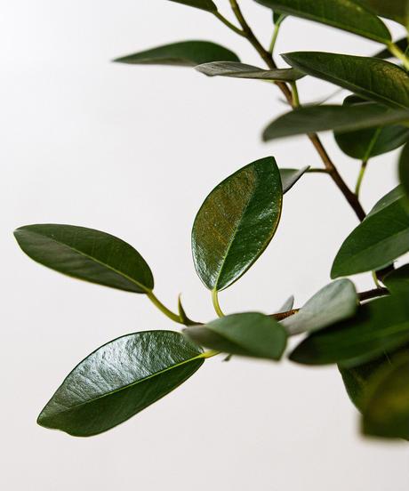 Ficus Rubiginosa | フィカス・ルビギノーサ