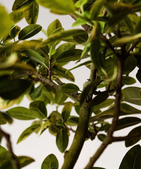 Ficus Rubiginosa Variegata   フィカス・ルビギノーサ・バリエガータ