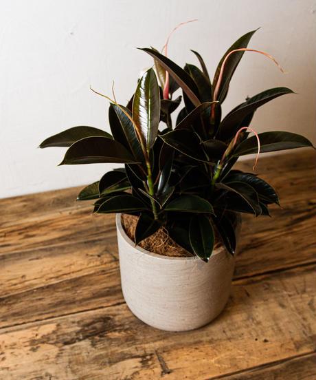 Ficus Elastica Melany    フィカス・エラスティカ・メラニー