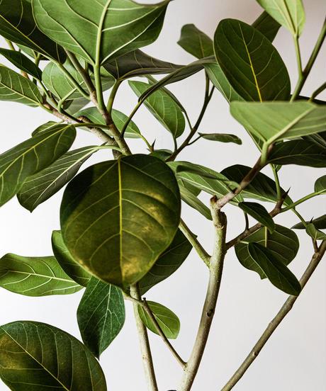 Ficus Grandiflora | フィカス・グランディフローラ