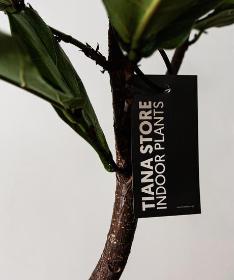 Ficus Lyrata   フィカス・リラータ