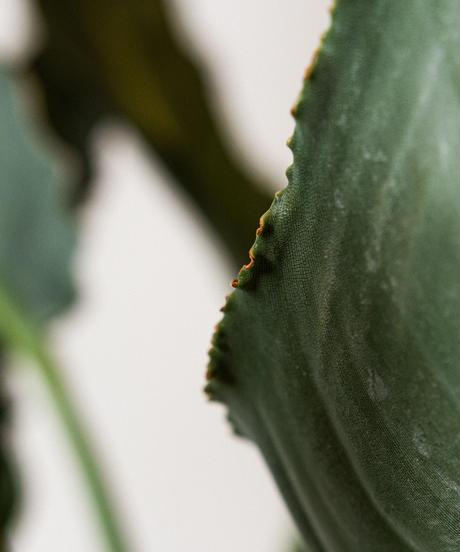 Strelitzia Reginae | ストレリチア・レギネ