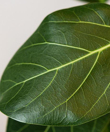Ficus Benghalensis | フィカス・ベンガレンシス