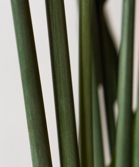 Strelitzia Juncea   ストレリチア・ユンケア
