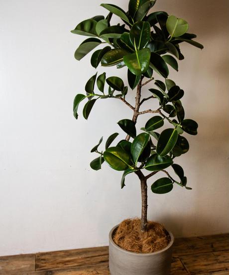 Ficus Elastica Sophia | フィカス・ソフィア