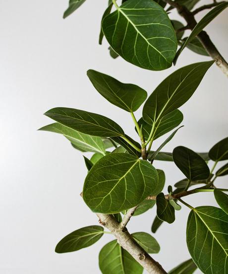 Ficus Benghalensis   フィカス・ベンガレンシス
