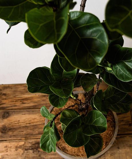Ficus Lyrata | フィカス・リラータ