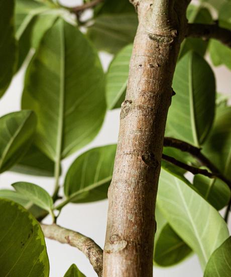Ficus Altissima | フィカス・アルテシマ