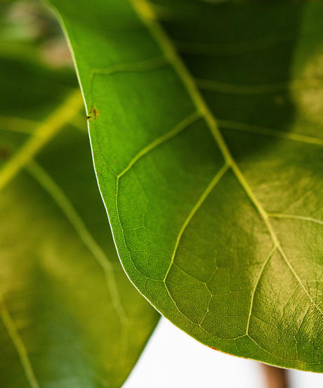 Ficus African prince   フィカス・アフリカンプリンス