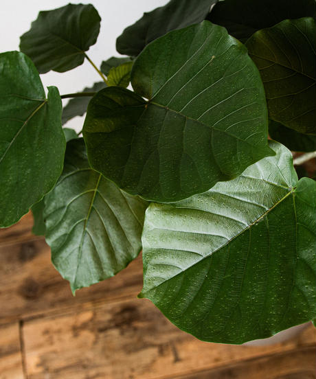 Ficus Umbellata | フィカス・ウンベラータ