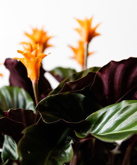 Calathea Crocata   カラテア・クロカータ