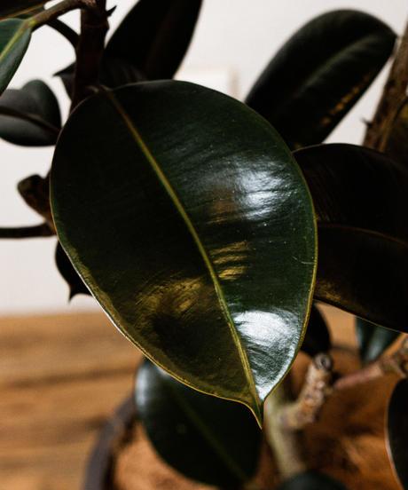 Ficus elastica Burgundy | フィカス・バーガンディ