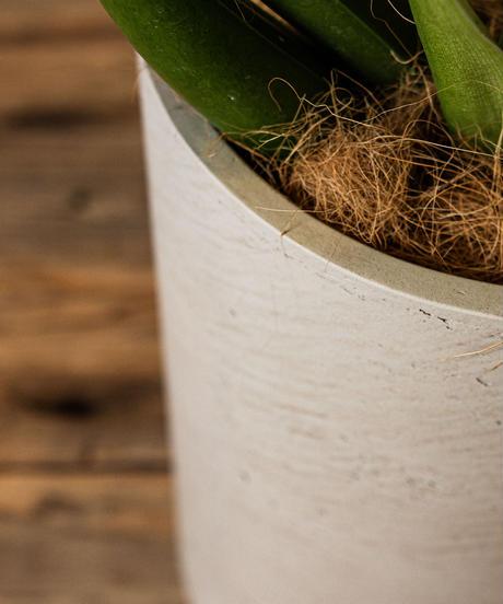 Philodendron Cannifolium    フィロデンドロン・キャニホリウム