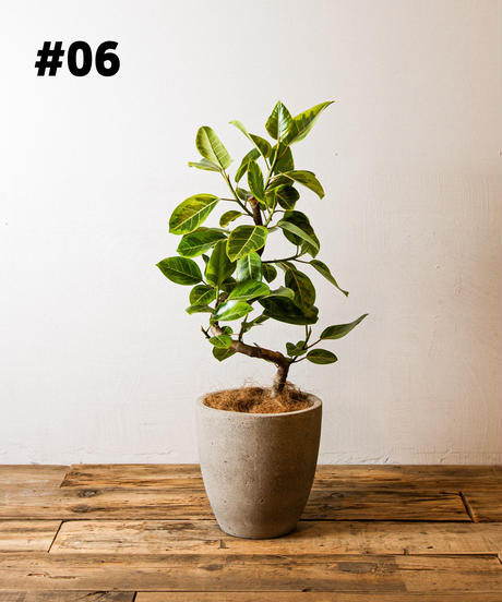 Ficus Altissima   フィカス・アルテシマ