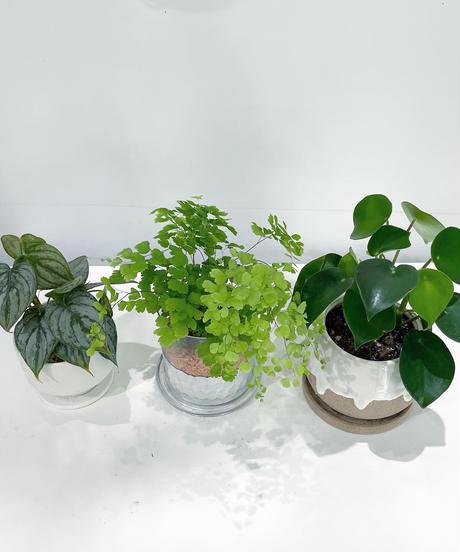 【観葉植物 】フィロデンドロン・ブランティアナム  / mat low pot hanase  white