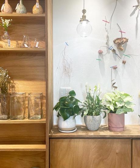 【観葉植物 】シンゴニウム  ホワイトバタフライ  /  slyimder pot mat pink