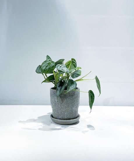 【観葉植物 】フィロデンドロン・ブランティアナム  / baruna スカイグレーφ11