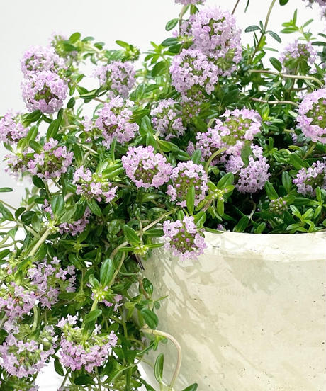 【庭・ベランダ】ハーブ クリーピングタイム 花芽たくさん / white egg pot