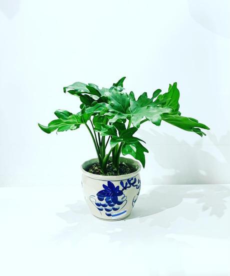 【観葉植物】フィロデンドロン ぶどう鉢