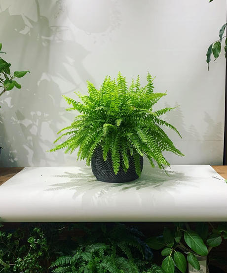 【観葉植物】ツデー/ traditional circle pot