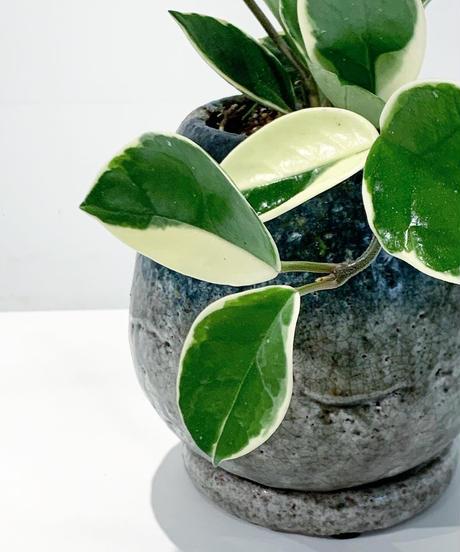 【観葉植物 】ホヤ カルノーサ バリエガータ / planet pot