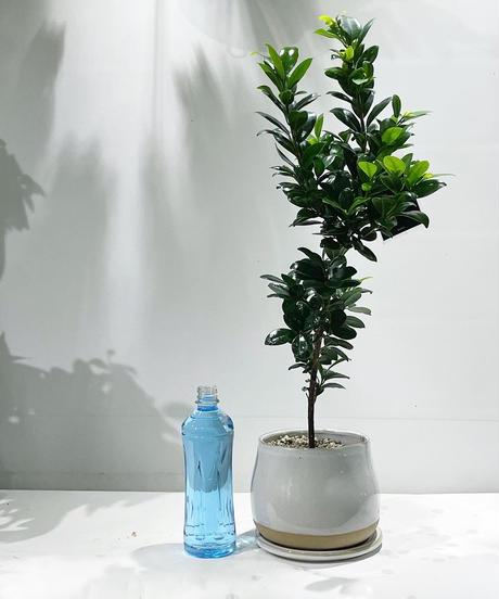 【観葉植物 】ガジュマル ベビーリーフ   / 陶器鉢 ポリーヌホワイト