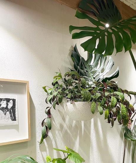 【観葉植物 】エスキナンサス マルモタラス  / ハンギング ストーンスキンポリポット