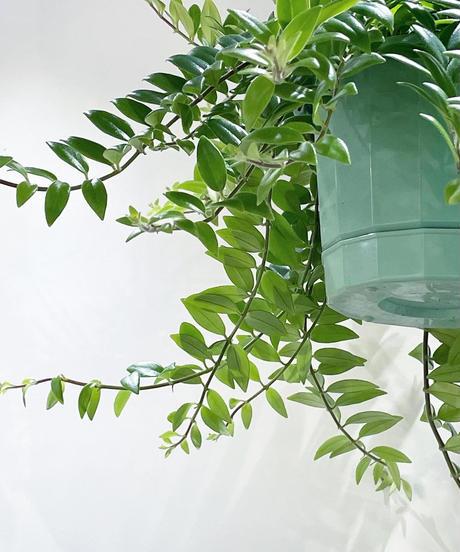 【観葉植物 】エスキナンサス ブルースター