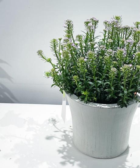 【屋外植物】イベリス クイーンアメジスト / ホワイトマットポット