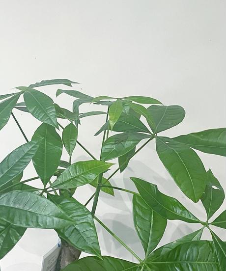【観葉植物 】パキラ  / マーブルポットカバー / アイアンポットスタンド