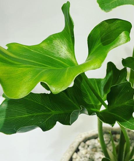 【観葉植物】フィロデンドロン セローム / cut pot