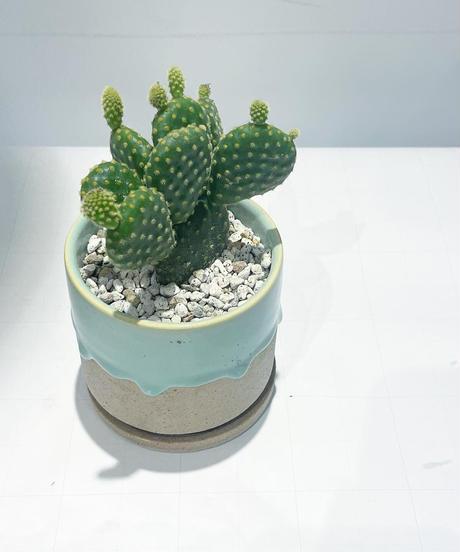 【観葉植物 】金烏帽子  / drop paint pot green