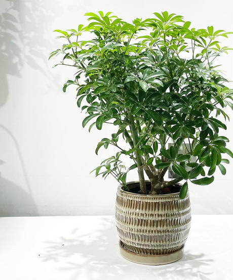 【観葉植物】シェフレラ コンパクタ  / uro round pot brown