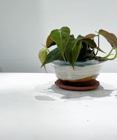 【観葉植物】フィロデンドロン ビロードカズラ  /  パラキート浅鉢