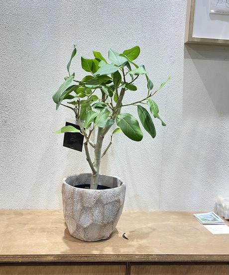 【観葉植物】フィカス ベンガレンシス/ cut pot