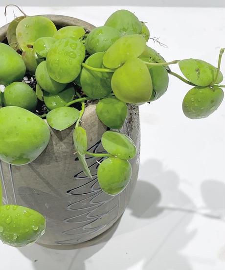 【観葉植物】ディスキディア インブリカータ /  モロッカンポット