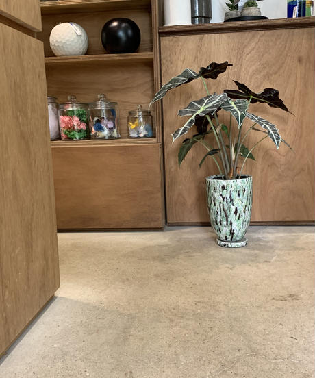 【観葉植物】アロカシア アマゾニカ /  micxcoler pot  GREEN
