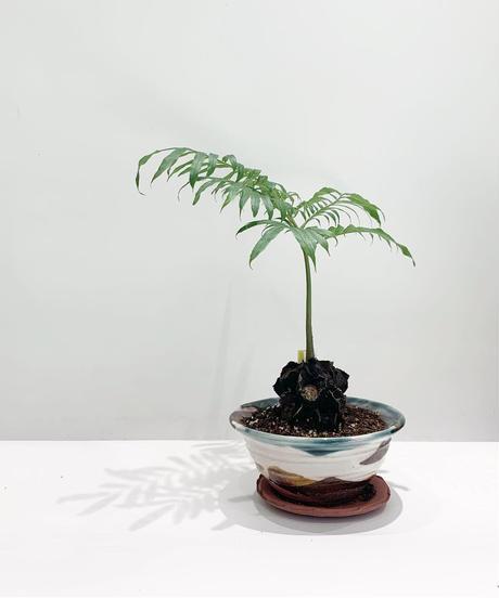 【観葉植物】リュウビンタイ