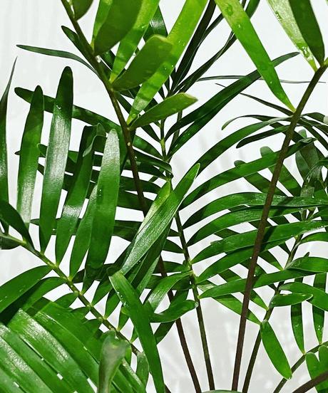 【観葉植物】ザミアフロリダーナ /  mat pot low white