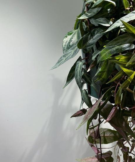 【観葉植物】シッサス アマゾニカ