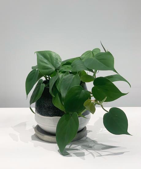 【観葉植物 】オキシカルジューム